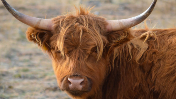 Highland-Cattle-2